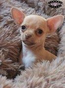 Mini Csivava jellegű kutyus