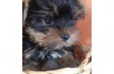 Mini Yorkshire Terrier kiskutyák