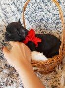 Mini francia bulldog jellegű kiskutyák