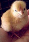 Napos és előnevelt csirke eladó!