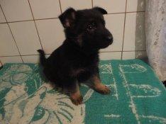 Német juhász fajtatiszta jelegű kis kutyák ingyenelvihetők németjuhász