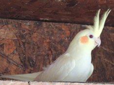 Nimfa papagáj