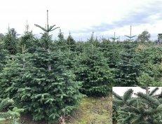 Nordmann fenyő, Karácsonyfa, Földlabdás fenyőfa eladó