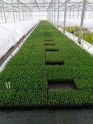 Örökzöld dugványok Thuja Chamaecy Juniperus Taxus Photinia
