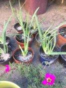 Orvosi Aloe Vera növények