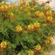 Paradicsommadárvirág fa (Caesalpinia gilliesii) eladó