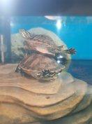 Ritka fajta Sárga és Vöröshasú Nelson teknősök