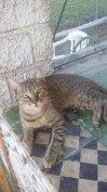 Szobatiszta cicák elvihetők