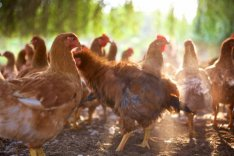 Tanyasi ,Házi Csirke és Tojás eladó