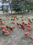 Tanyasi kukoricás csirke