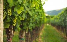 Tarcalon szőlő haszonbérlete