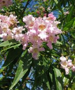 Taskenti trombitafa, chitalpa (× Chitalpa tashkentensis) eladó