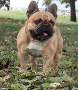 Tenyészszemlés francia bulldog kan fedez