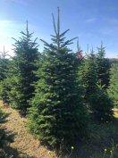 Termelői vágott, gyökeres nordmann fenyő, normand fenyőfa, karácsonyfa
