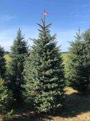 Termelői vágott és gyökeres ezüstfenyő, ezüst fenyőfa, karácsonyfa