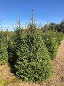Termelői vágott és gyökeres lucfenyő, luc fenyőfa, karácsonyfa eladó