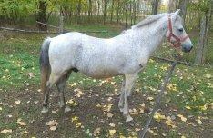 Új gazdit keres Sanyi nevü kis lovam !