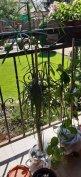 Vizi pálma, pálma, szobanövény
