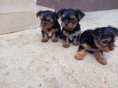 Yorkshire Terrier kis kutyák