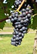 Zweigelt minőségi borszőlő eladó