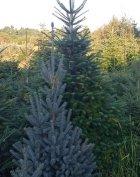 normand fenyő,karácsonyfa,fenyőfa eladó