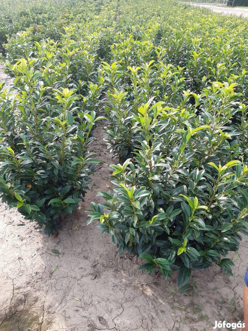 Babérmeggy Smaragd tuja Leylandi ciprus Korallberkenye Tiszafa eladó
