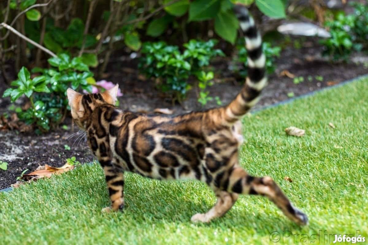 Bengáli cica eladó Holland- Magyar prémium tenyészetből