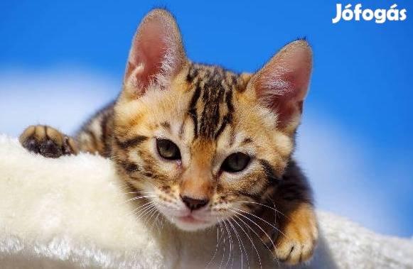Bengáli kiscicák eladók Magyarország leg eredményesebb tenyészetéből