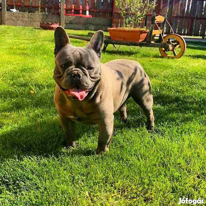 Blue francia bulldog kan fedez.