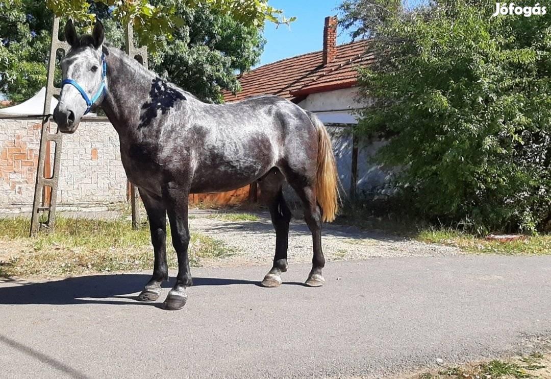 Eladó Herélt ló