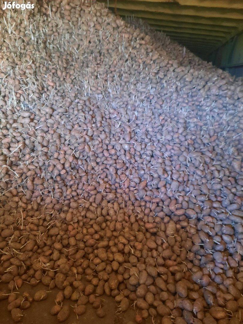 Elit Desiree vetőgumóból termelt egészséges burgonya eladó ömlesztve