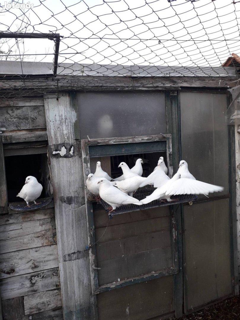 Fehér postagalambok dúcot váltanának