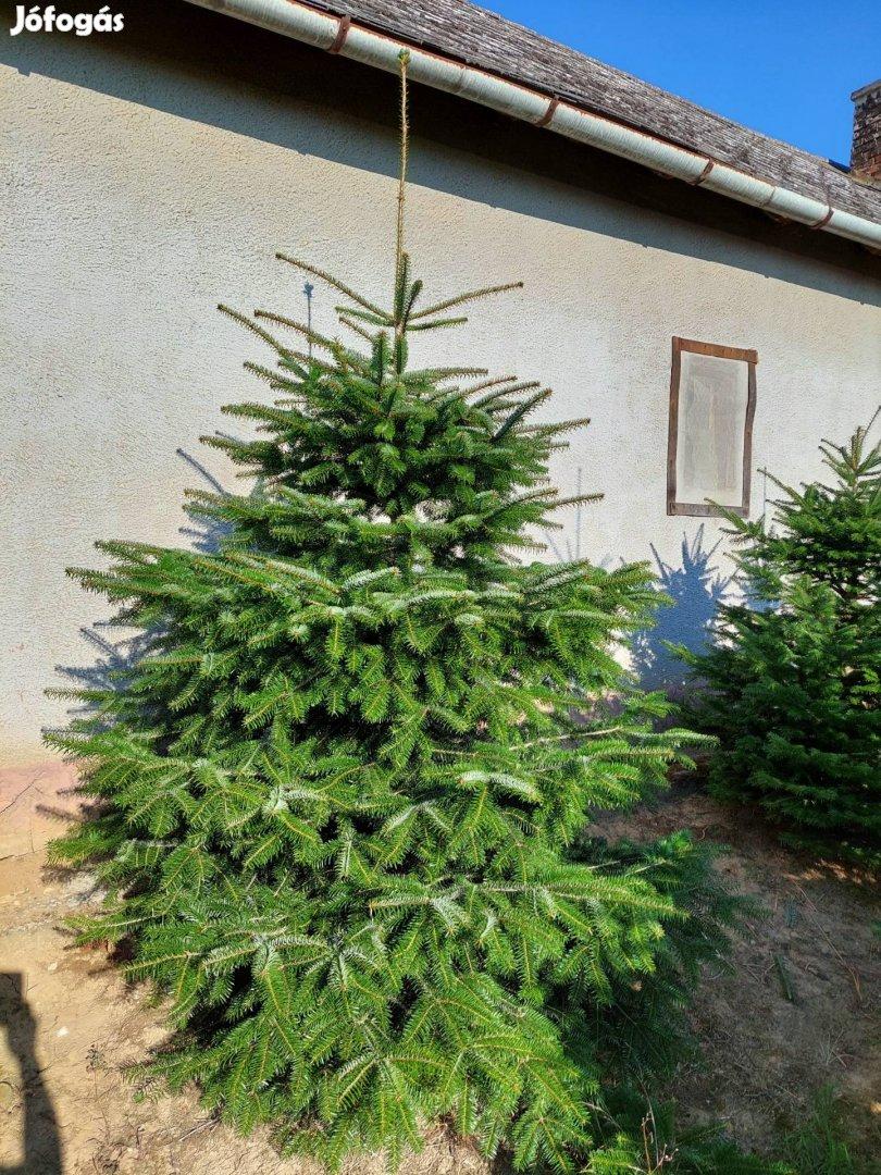 Fenyő/Nordmann/ eladó Sandon