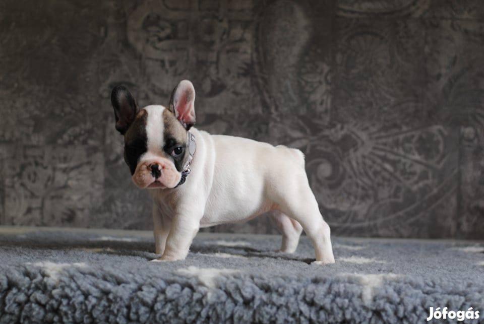 Francia Bulldog kölykök eladók
