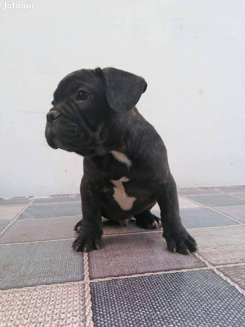 Francia bulldog babák