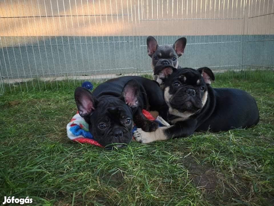 Francia bulldog jellegű kiskutyák black&tan