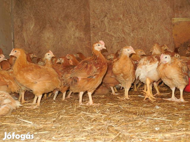 Gyönyörű kukoricadarán nevelt 5 hetes csirke!