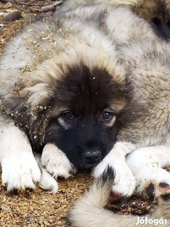 Kaukázusi jellegű kiskutya ingyen elvihető