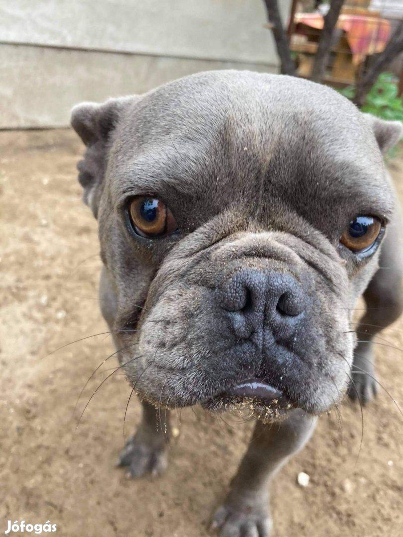 Kék francia bulldog jellegű