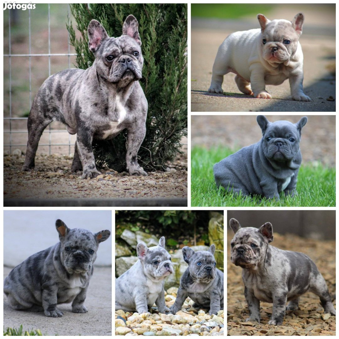 Minőségi francia bulldog kanok fedeznek!