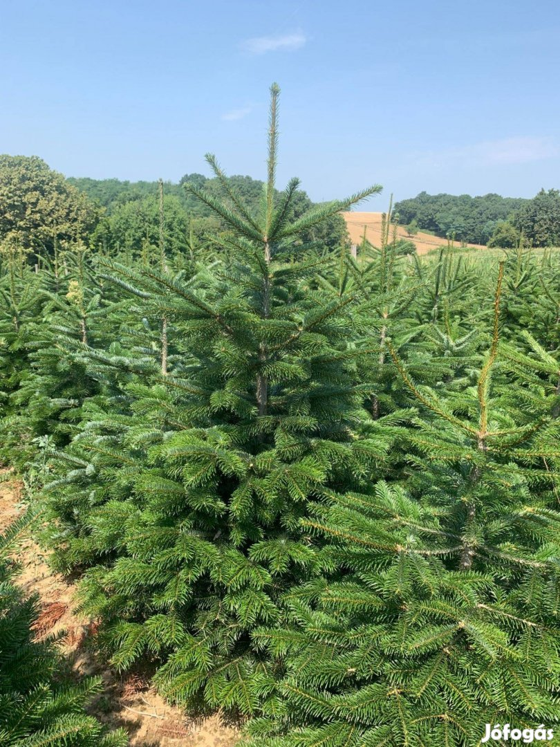 Nordmann,Normand,Normann fenyő karácsonyfa