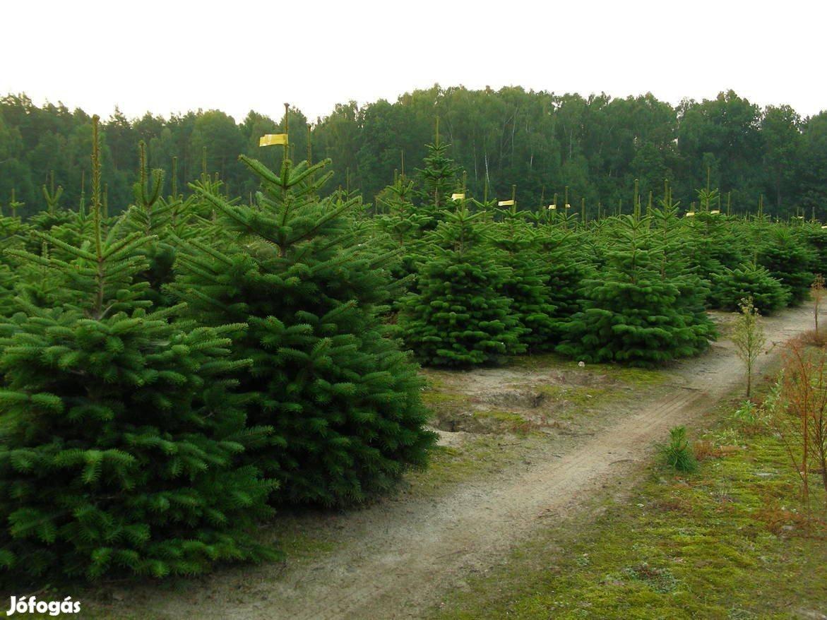 Nordmann fenyő, normand fenyő, lucfenyő, ezüstfenyő, karácsonyfa, luc