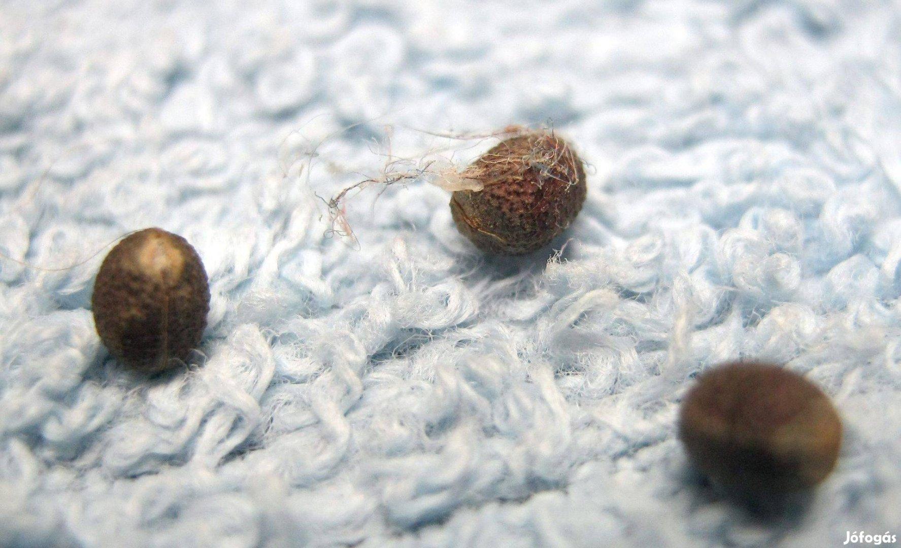 Pálma mag, Madagaszkár ékszere, köpködő pálma