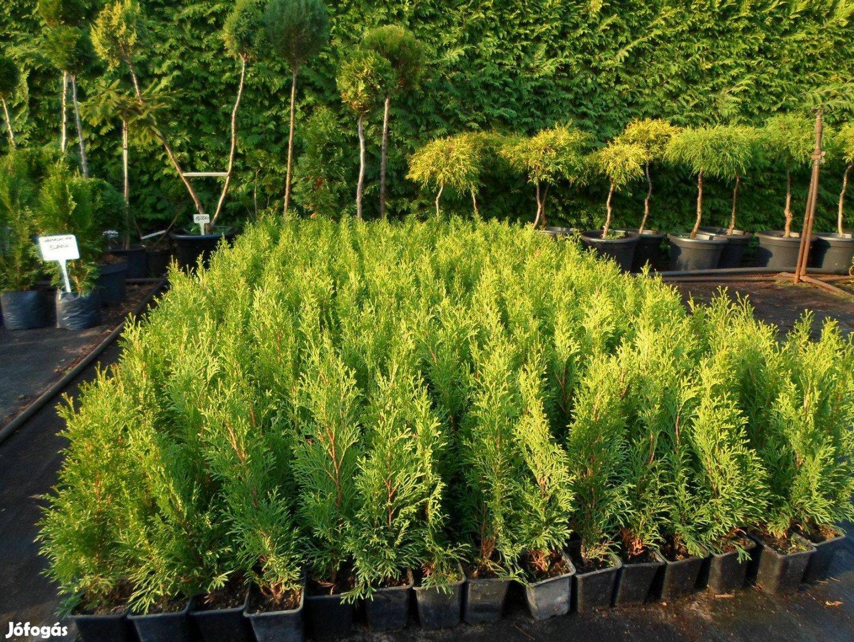 Smaragd tuja 30-35 cm 550 Ft Ingyen szállítás 50 db feletti rendelé