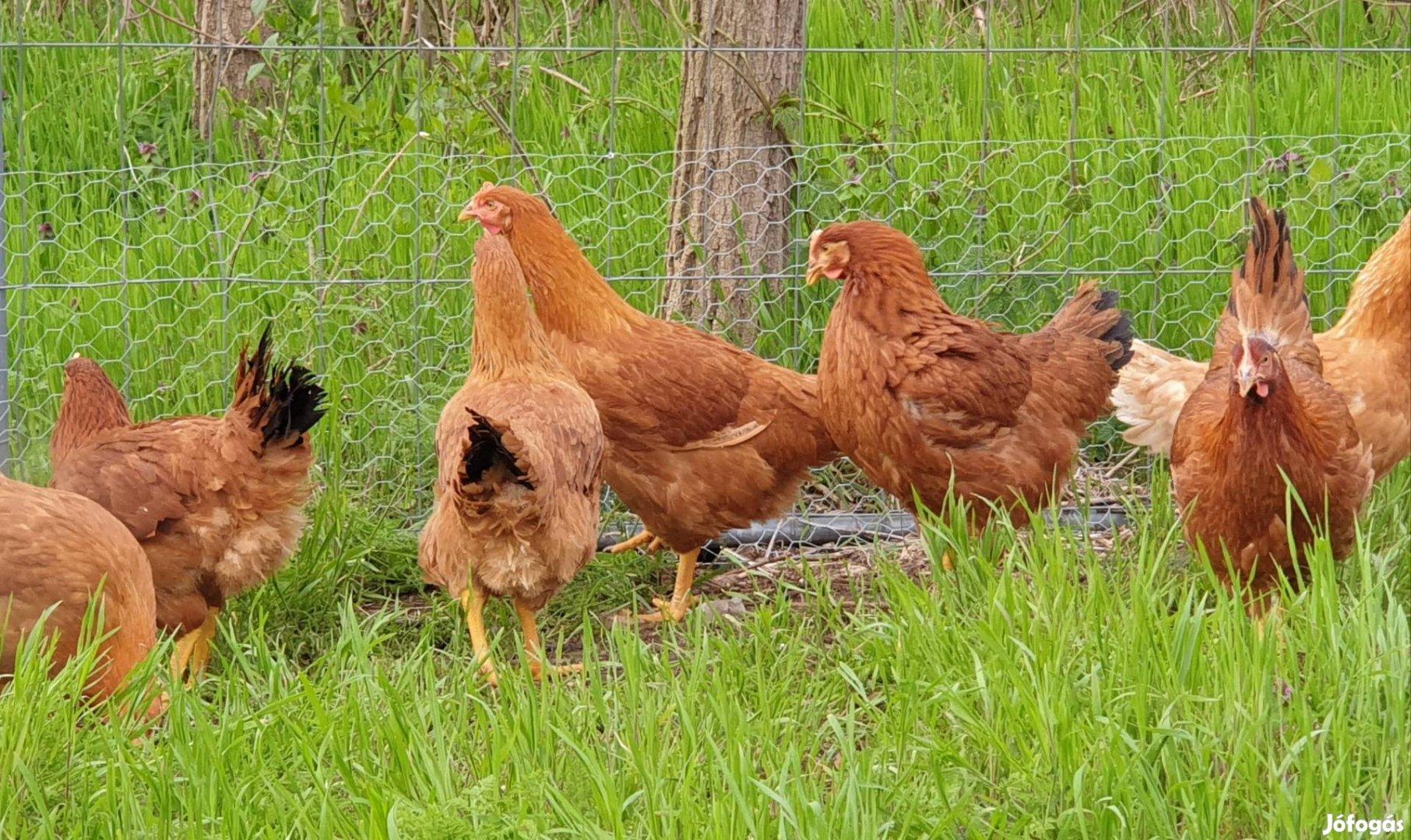Tanyasi Csirke eladó