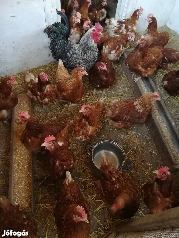 Tyúk tojótyúk a legjobb áron országos kiszállítással