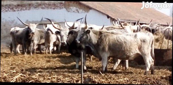 20DB közel ellős szürkemarha tehén eladó!!!, 1. Kép