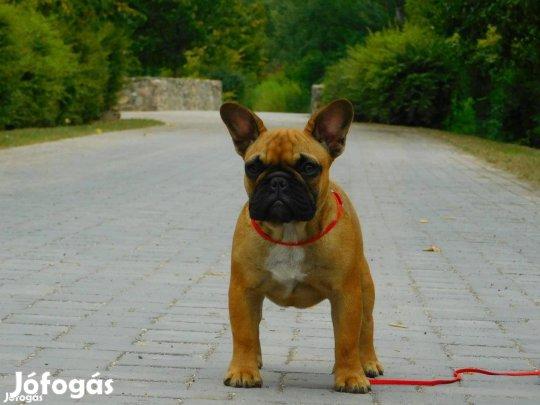 Francia bulldog törzskönyvezett szukák eladók!